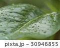 雨露に濡れる新緑 30946855