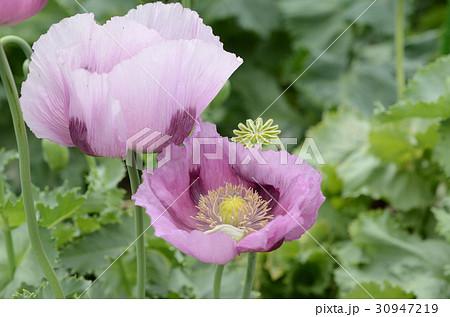 アツミゲシ・渥美芥子の花、紅紫色花。 30947219