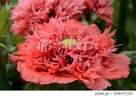 ケシ・芥子の花、赤。八重ソムニフェルム種 30947220