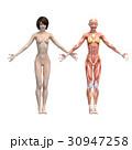 女性 解剖 筋肉 3DCG イラスト素材 30947258