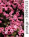 ギョリュウバイ 花 満開の写真 30947315