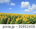 ひまわり 花 群生の写真 30952456