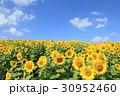 ひまわり 花 群生の写真 30952460