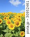 ひまわり 花 群生の写真 30952461
