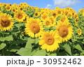 ひまわり 花 群生の写真 30952462