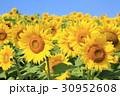 ひまわり 花 群生の写真 30952608