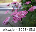 花ピンク盛り 30954638