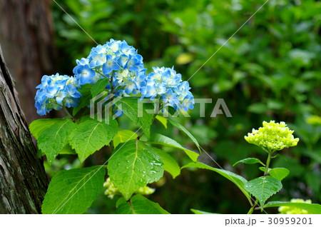 色付き始めたアジサイに雨の雫 青 d-2 つぼみと共に 30959201