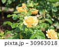 植物 花 バラの写真 30963018