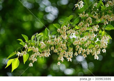 5月花 エゴノキ・エゴノキ科33小金井公園 30963886
