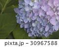 あじさいの花 クローズアップ 30967588