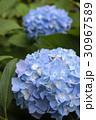 青いあじさいの花 30967589