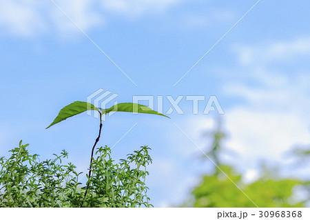 カシの木の芽生えの写真素材 [30...