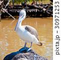 鳥類 鳥 ペリカンの写真 30971253