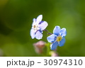 Macro shot of a forget-me-not in field. 30974310