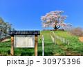 為内 一本桜 桜の写真 30975396