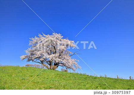為内の一本桜 30975397