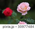 薔薇 ピンク 花の写真 30977484