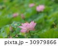 花 ハス 花蓮の写真 30979866