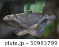 ウスオエダシャク 虫 昆虫の写真 30983799