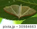 マエアカスカシノメイガ 虫 昆虫の写真 30984663