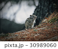 Eastern Chipmunk , sitting on a fallen tree 30989060