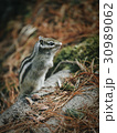 Eastern Chipmunk , sitting on a fallen tree 30989062