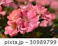 ピンク色 バラの花 30989799