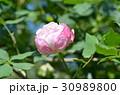 バラの花 30989800