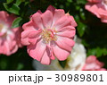 バラの花 30989801