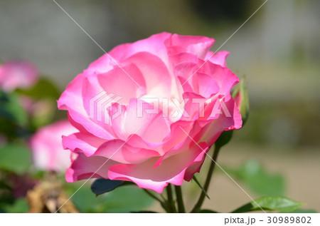 バラの花 30989802