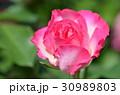 バラの花 30989803