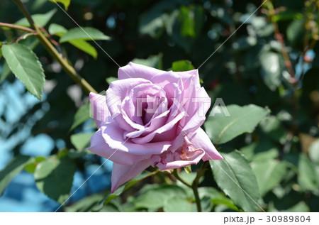 薄紫色のバラの花 30989804