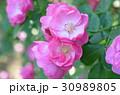 バラの花 30989805