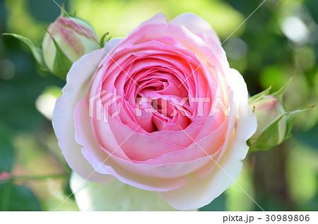 バラの花 30989806