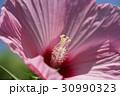 花 ハイビスカス ピンクの写真 30990323