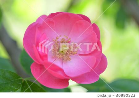 バラの花 30990522