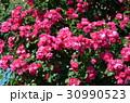 バラの花 30990523