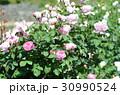 バラの花 30990524