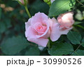 バラの花 30990526