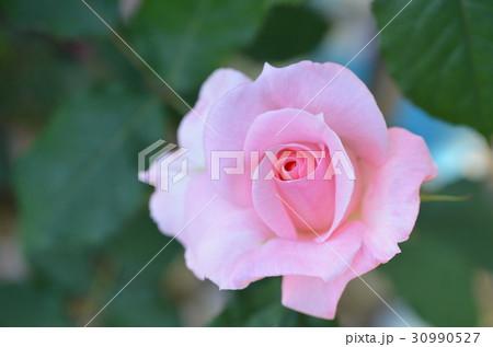 バラの花 30990527