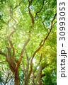 クスノキ 新緑 森林の写真 30993053