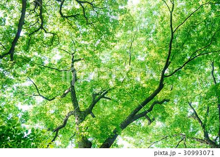 新緑の森の中 30993071