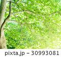 樹木 新緑 木の写真 30993081