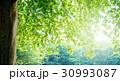 樹木 新緑 木の写真 30993087