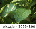 新緑 かがやき 30994390