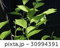 新緑 かがやき 30994391