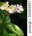 紫陽花と蛙 30994997