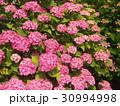 紫陽花 30994998