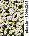 ノースポール 花 花畑の写真 30998298
